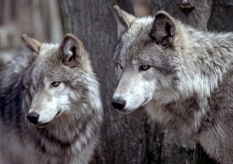Les loups du gévaudan