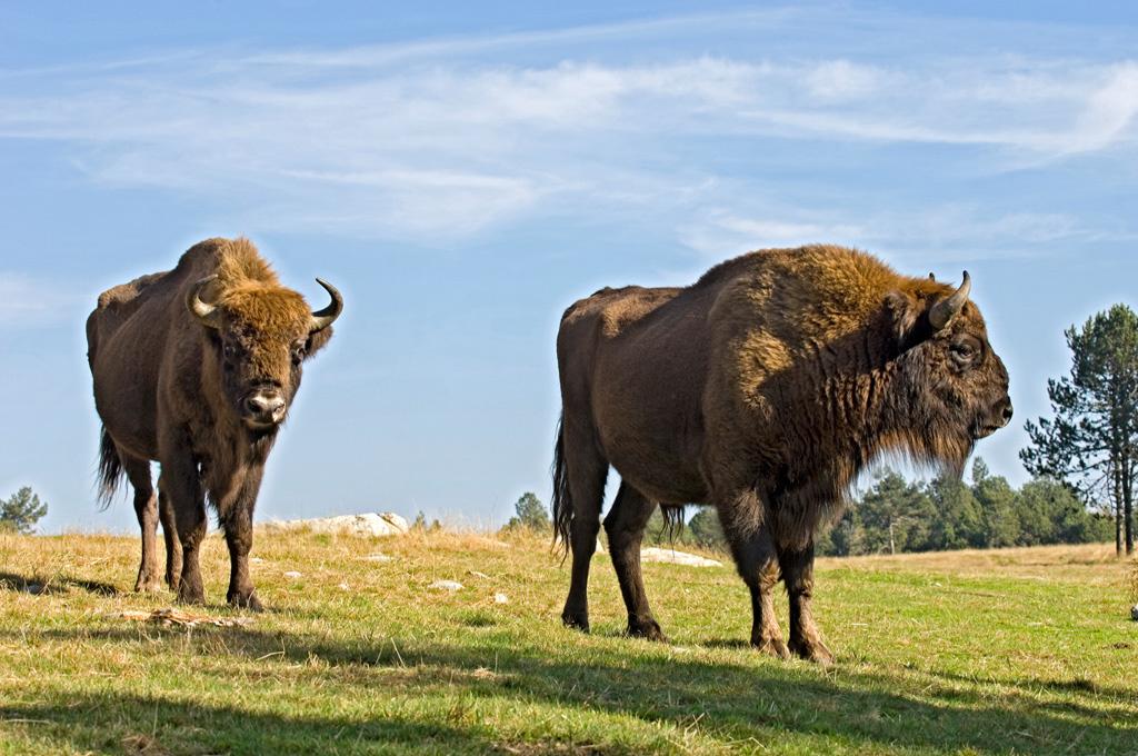 Reserve des bisons